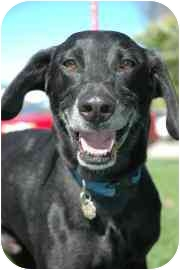 German Shorthaired Pointer/Labrador Retriever Mix Dog for adoption in Walker, Michigan - Cadillac