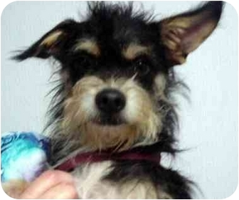 Chinese Crested/Cairn Terrier Mix Dog for adoption in Manassas, Virginia - Tony