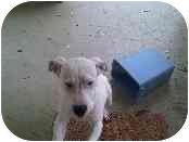 American Bulldog/Hound (Unknown Type) Mix Puppy for adoption in Cincinnati, Ohio - Sully-Foster Needed