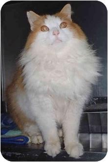 Domestic Longhair Cat for adoption in Honesdale, Pennsylvania - Sugar