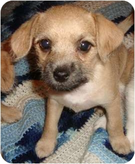 Chihuahua/Poodle (Miniature) Mix Puppy for adoption in Staunton, Virginia - Little Bit