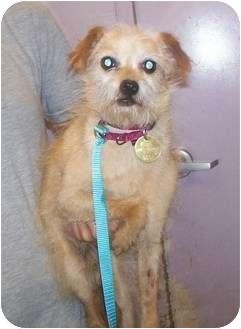 Yorkie, Yorkshire Terrier/Norfolk Terrier Mix Dog for adoption in Oak Ridge, New Jersey - Otto- 6 lbs