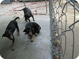 Rottweiler Mix Puppy for adoption in Henderson, North Carolina - Curly Larry Moe