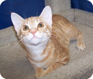 Domestic Shorthair Kitten for adoption in Colorado Springs, Colorado - K-Maddie2-Orange Blossom