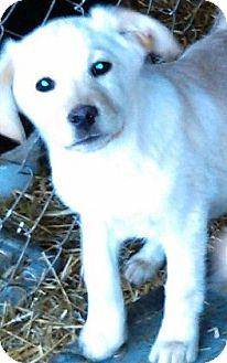 Golden Retriever/Labrador Retriever Mix Puppy for adoption in Oswego, Illinois - Sunny D Lite