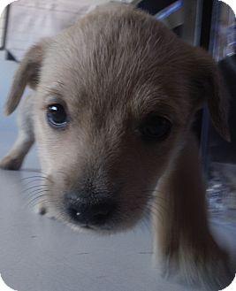 Golden Retriever Mix Puppy for adoption in McIntosh, New Mexico - Tootsie