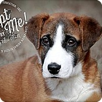 Adopt A Pet :: Patrick aka Patch - Albany, NY
