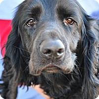 Adopt A Pet :: Floyd - New Canaan, CT