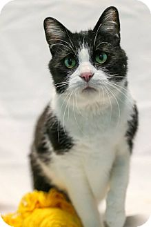 Domestic Shorthair Cat for adoption in Lafayette, Indiana - Juan