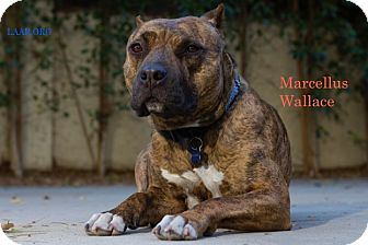 Boxer/Staffordshire Bull Terrier Mix Dog for adoption in Los Angeles, California - Marcellus Wallace