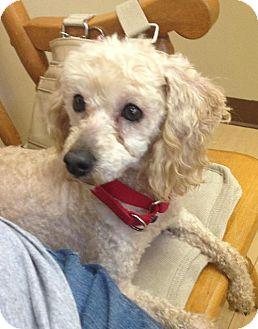 Poodle (Miniature) Dog for adoption in Beachwood, Ohio - Jazz