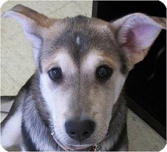 Alaskan Malamute Mix Puppy for adoption in Beachwood, Ohio - Zoey