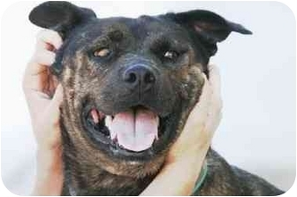 Staffordshire Bull Terrier Mix Puppy for adoption in Scottsdale, Arizona - Puerca
