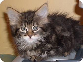 Maine Coon Kitten for adoption in Lenexa, Kansas - Charlotte