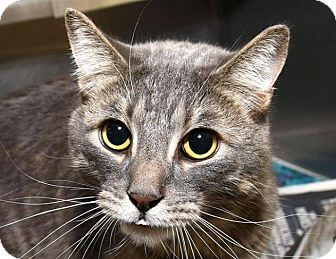 Domestic Shorthair Cat for adoption in New Haven, Connecticut - MAX