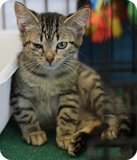 Domestic Shorthair Kitten for adoption in Concord, North Carolina - Hope