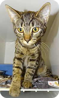 Domestic Shorthair Cat for adoption in Brooksville, Florida - BEANS
