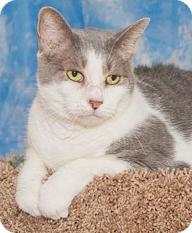 Domestic Shorthair Cat for adoption in Elmwood Park, New Jersey - Tara