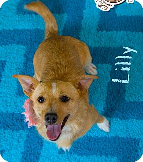 Terrier (Unknown Type, Small)/Chihuahua Mix Dog for adoption in Seattle, Washington - Lilly