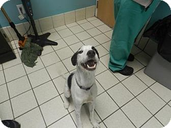 Terrier (Unknown Type, Medium) Mix Dog for adoption in Jersey City, New Jersey - Tom Hardy