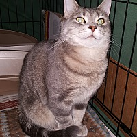 Domestic Shorthair Cat for adoption in Dewitt, Michigan - Josie
