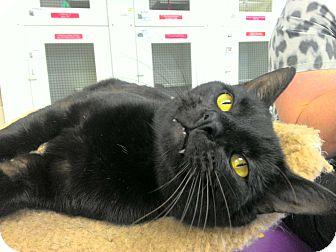 Domestic Shorthair Kitten for adoption in San Leon, Texas - Tobias