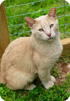 Domestic Shorthair Cat for adoption in San Antonio, Texas - Chester
