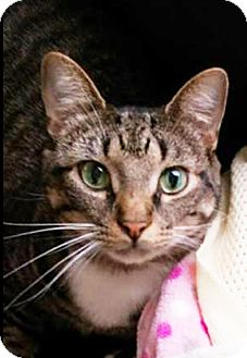 Egyptian Mau Cat for adoption in Kansas City, Missouri - Semni