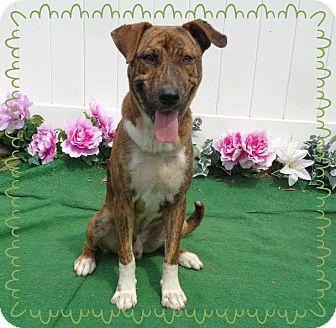 Plott Hound/Terrier (Unknown Type, Medium) Mix Dog for adoption in Marietta, Georgia - SOCRATES