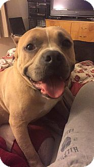 American Pit Bull Terrier/American Staffordshire Terrier Mix Dog for adoption in Groton, Connecticut - Ramsey
