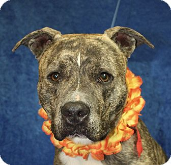 Pit Bull Terrier Mix Dog for adoption in Jackson, Michigan - Roland