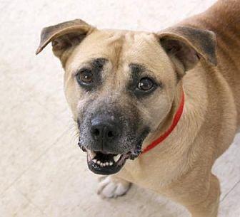 Beagle/Pug Mix Dog for adoption in Loxahatchee, Florida - April AKA Happy