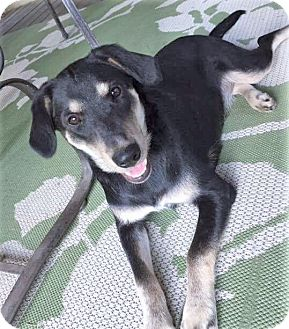 German Shepherd Dog/Labrador Retriever Mix Dog for adoption in Saratoga Springs, New York - Nina ~ ADOPTED!