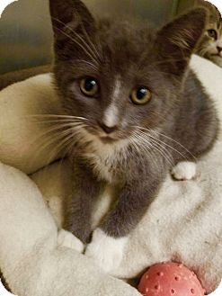 Domestic Shorthair Kitten for adoption in Marlton, New Jersey - Spooky