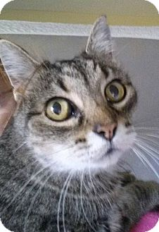 Domestic Shorthair Cat for adoption in Jerseyville, Illinois - Frankie