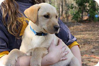 Labrador Retriever Mix Puppy for adoption in Sturbridge, Massachusetts - Major