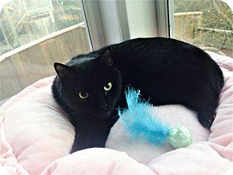 Domestic Shorthair Cat for adoption in Atlanta, Georgia - Oswald