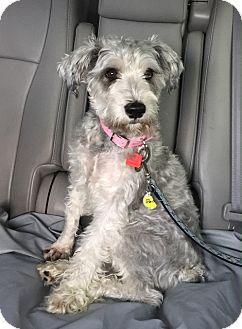 Schnauzer (Miniature) Dog for adoption in Scottsdale, Arizona - Mia