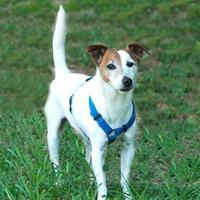 Adopt A Pet :: Scooter - Glen Allen, VA