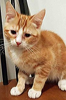Domestic Shorthair Kitten for adoption in Downers Grove, Illinois - Bob