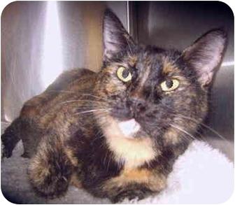 Domestic Shorthair Cat for adoption in Grass Valley, California - Anita