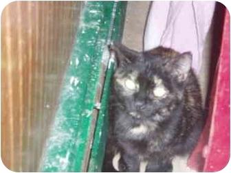Domestic Shorthair Cat for adoption in Hamburg, New York - Darcy Doll