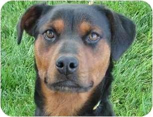 Rottweiler/Spaniel (Unknown Type) Mix Dog for adoption in Sacramento, California - IRIS