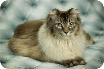 Domestic Mediumhair Cat for adoption in Anchorage, Alaska - Peggy Sue