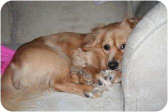 Cocker Spaniel/Dachshund Mix Dog for adoption in Westfield, Indiana - Buddy