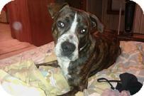 American Pit Bull Terrier Mix Dog for adoption in Medford, Massachusetts - Tyger