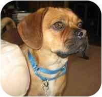 Pug/Beagle Mix Dog for adoption in Warren, New Jersey - Buddy the Puggle