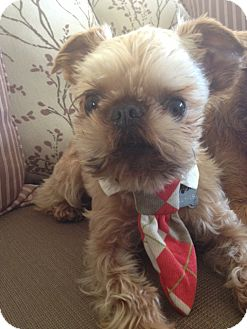 Brussels Griffon Dog for adoption in Los Angeles, California - SIR JAMES - ADOPTION PENDING