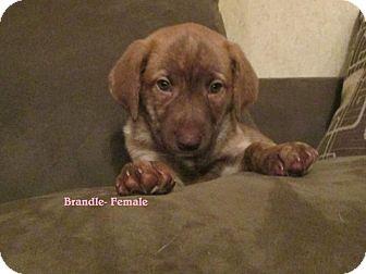 Golden Retriever Mix Puppy for adoption in Hammond, Louisiana - Brandle