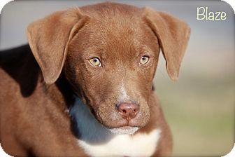 Labrador Retriever/Weimaraner Mix Puppy for adoption in Wilmington, Delaware - Blaze